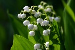 sprig of muguet
