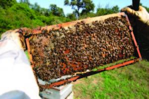 corsican honey