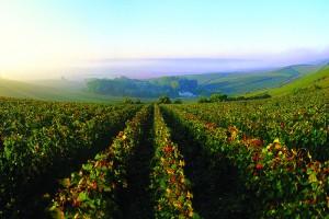 The region's vineyard