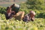 Burgundy grape harvest