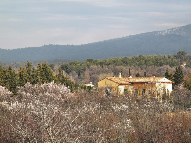 Almond trees in blossom on the Masons' land in Provence