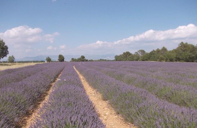 var-lavender