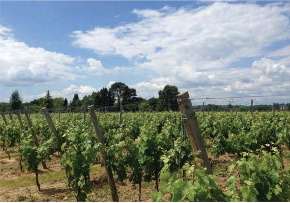 Vineyard in Gironde