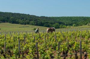 A_vineyard_worker_manually_tills_the_soil_near_Vosne-Romanée_in_Burgundy_