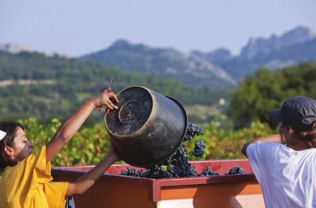 Vendange (harvest time) in Gigondas
