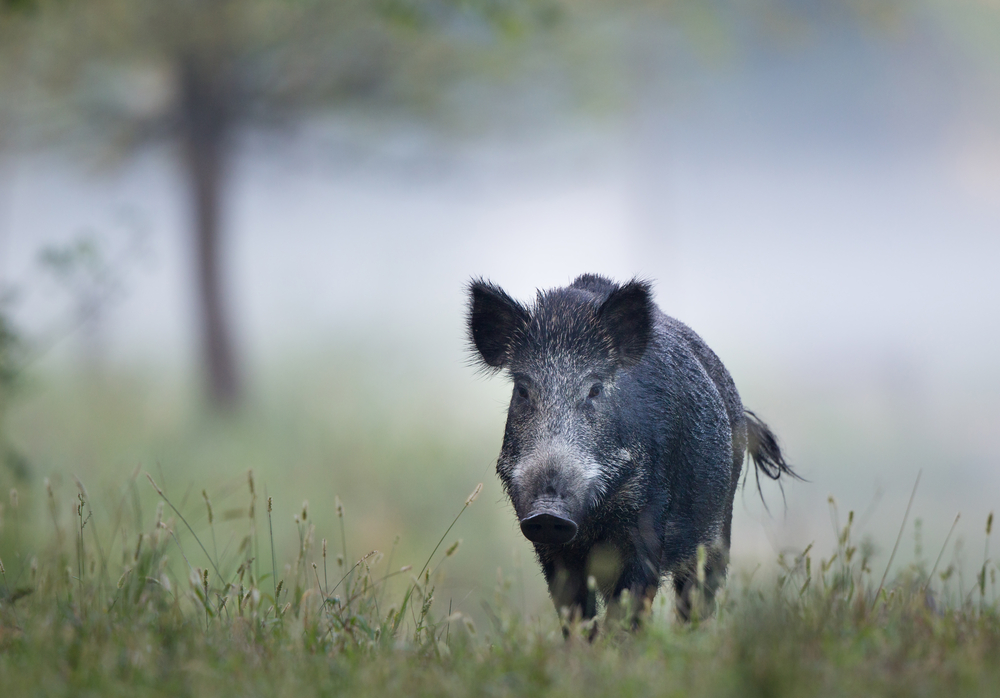boar hunting in france