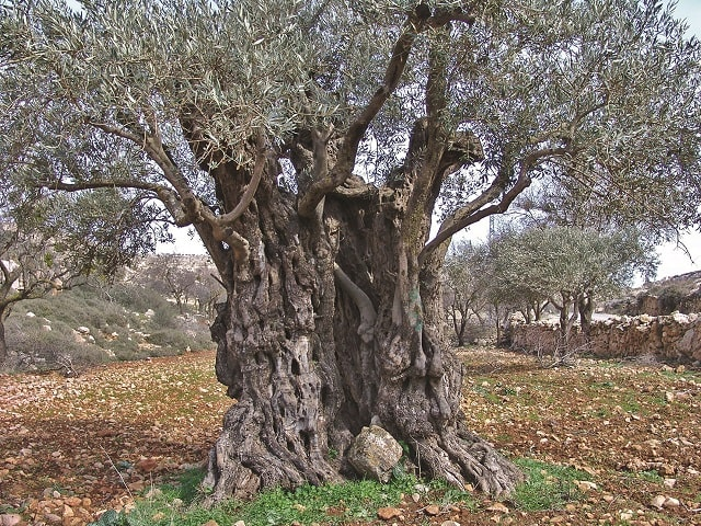old olive tree on terrace