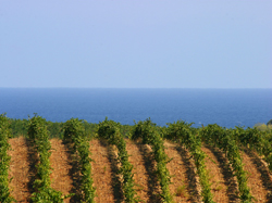 Corsican wine: Behind the label