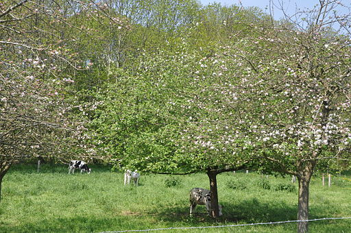 Large gardens and old apple trees