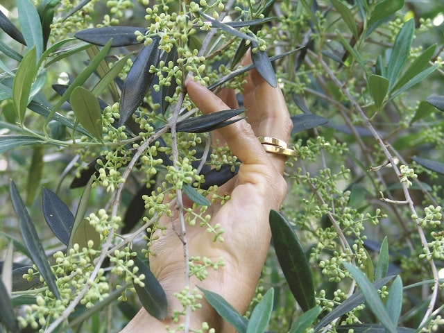 Oiling the Wheels – How We Bought an Olive Grove