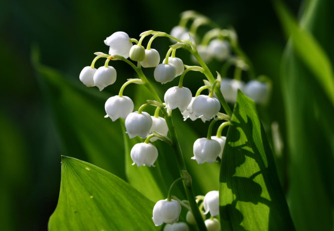 Muguet – a May Day Tradition Dating Back to 1561