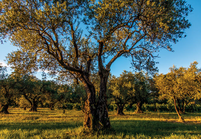 The Accidental Olive Farmers