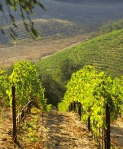 Razes vineyards