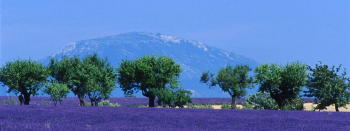 Lavender Fields Quintessential Provence