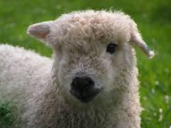 dartmoor lamb small
