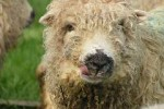 dartmoor sheep inside