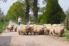 dartmoor sheep/tracey