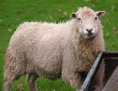 sheep pic large