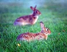 hanson rabbits