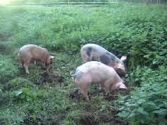 hanson pigs