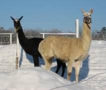 llamas in snow large