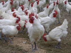 Burgundy poultry