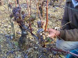 Burgundy wines Chardonnay Recolte Tardive