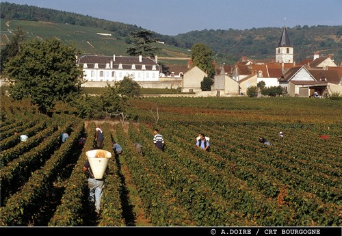 Burgundy wine harvesting