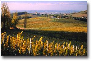 Belingard vines