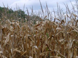 Dried maize crop