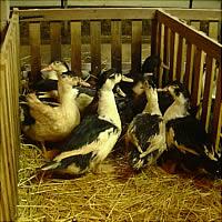 Fattened ducks