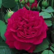 crimson rose large