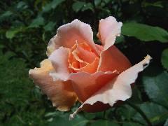 pink rose large