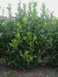 laurel evergreen