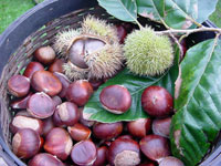 Limousin chestnuts