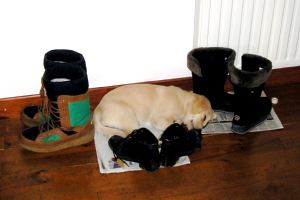 Training Guide Dogs for the Blind in France