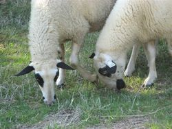 Sheep farming in the Lot