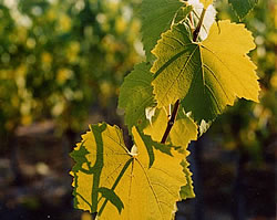 Chardonnay leaves