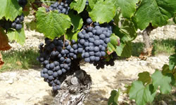 Cahors wine grapes