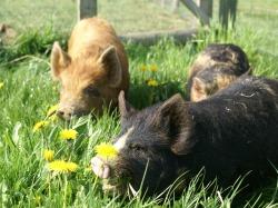 Rosie's pigs