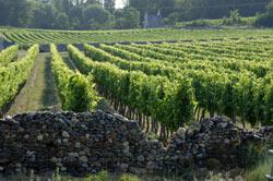Pays de la Loire vinyard