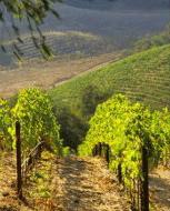 Blanquette de Limoux grapes