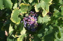 grapes nestling in the vines
