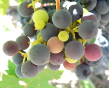 juicy grapes on the vine