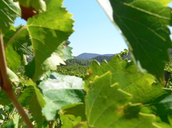 view of the vineyards, Languedoc-Roussillon