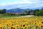 Sunflower fields, Languedoc