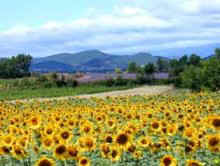 Sunflower fields, Languedoc