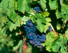 Grapes of Languedoc