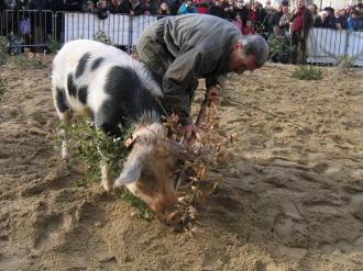 truffle hunting pig uzes market languedoc