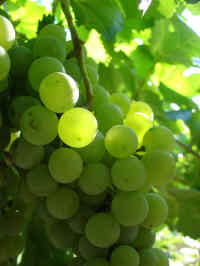 Gaillac Grapes